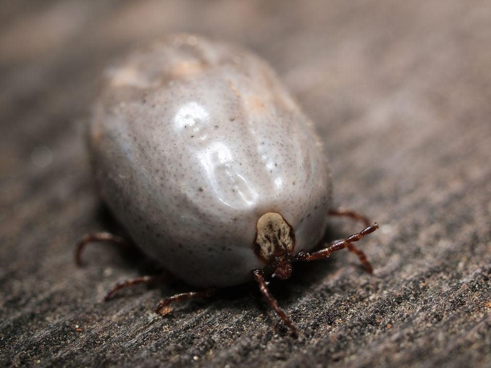 A blood engorged deer tick