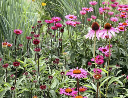 Drought tolerant perennial flowers for dry areas what long blooming perennials should you have in your garden mightylinksfo