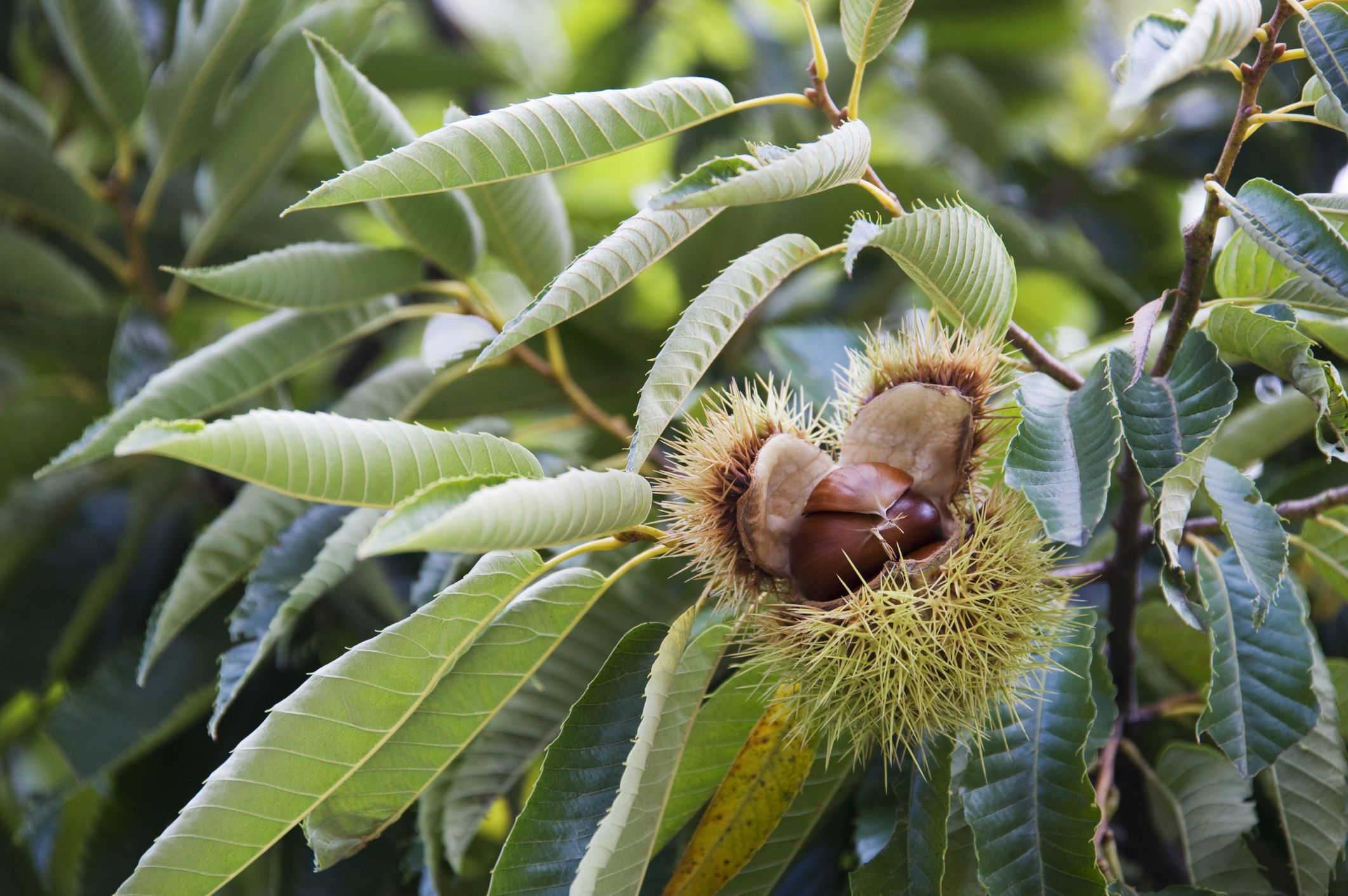 How to harvest and store chestnuts for The chestnut