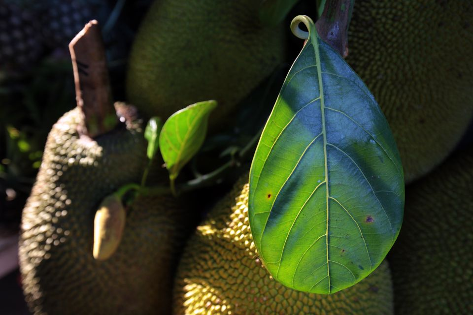 View Of Jackfruits With Leaves