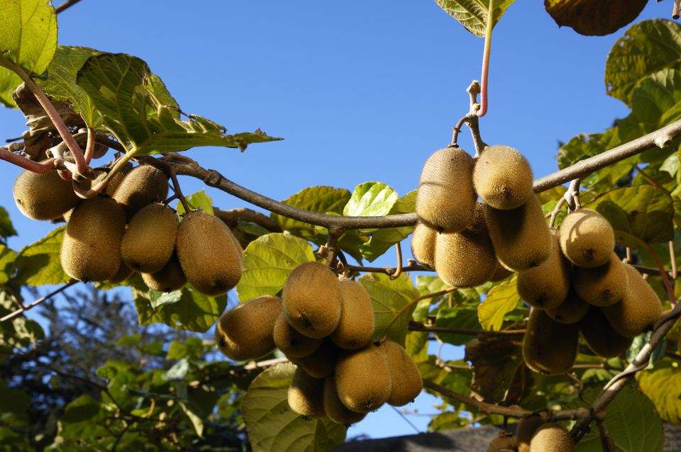 ripening organic kiwi fruit (Actinidia deliciosa) on plant vines