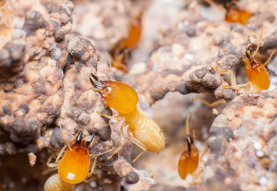 Closeup of termite pests.