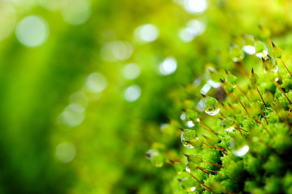 Closeup of moss plants with dew on them.