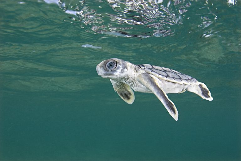 Flatback sea turtle - an example of an omnivore.