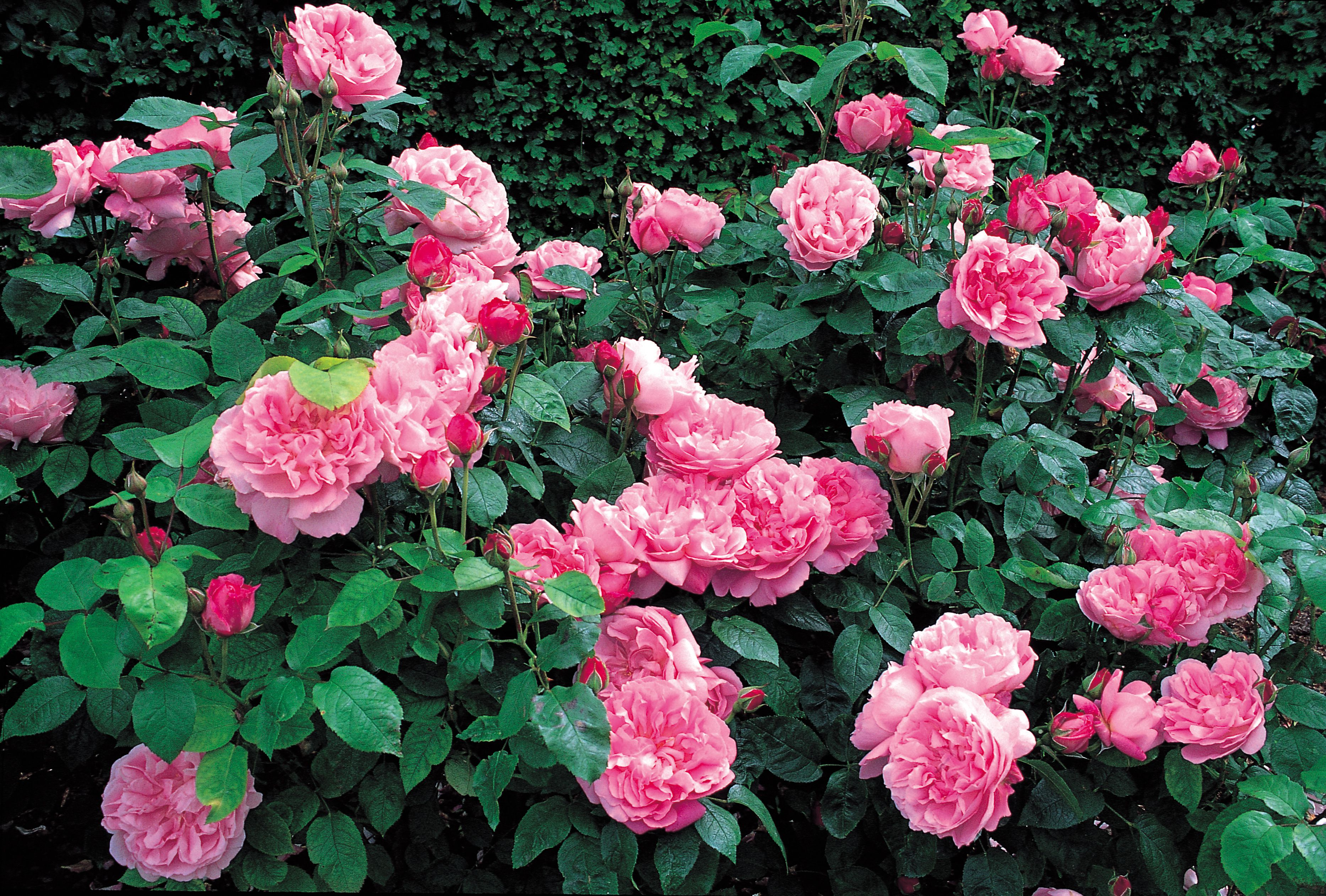 The best roses for a shaded garden buycottarizona Choice Image
