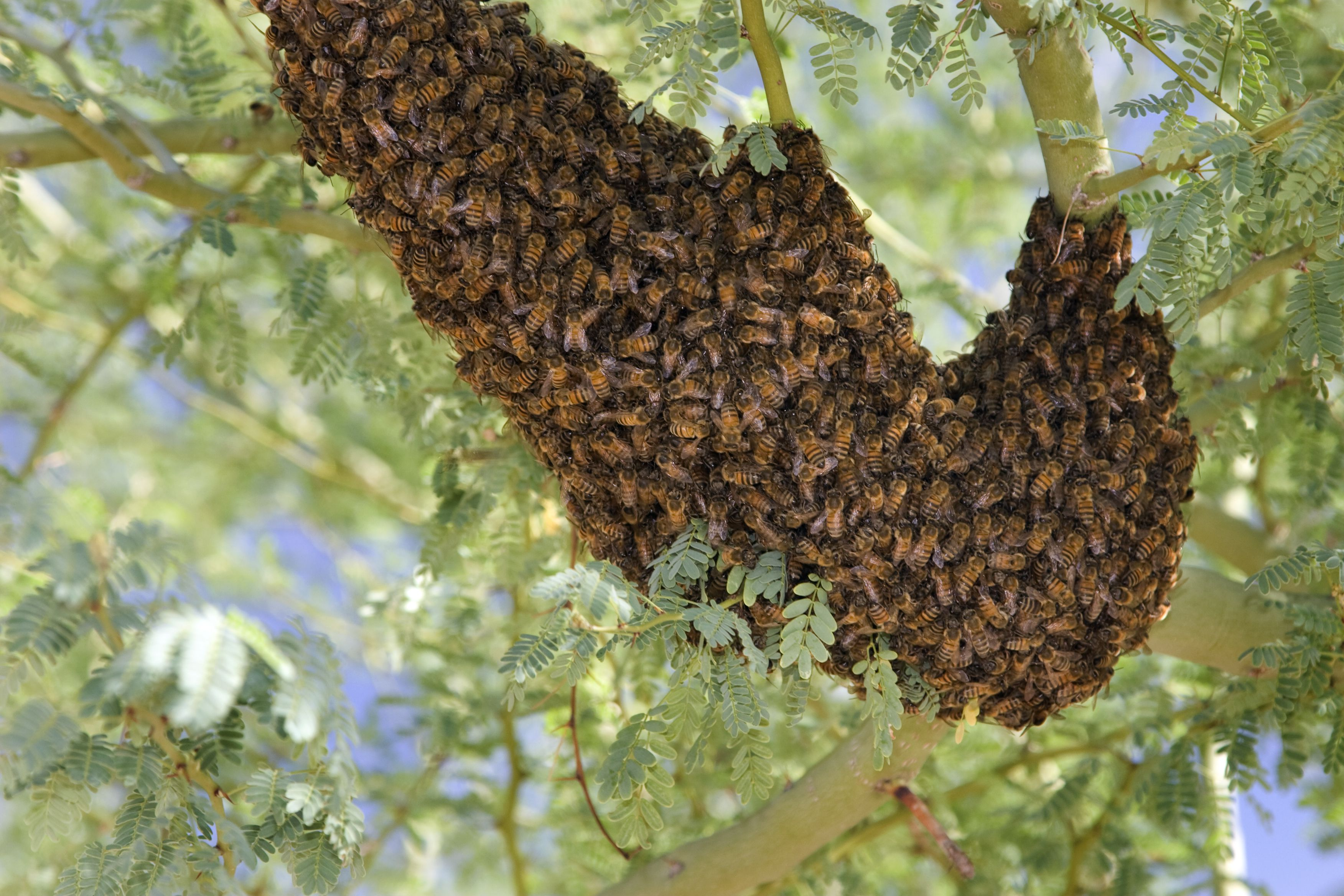 How To Treat Stings From Africanized Honey Bees