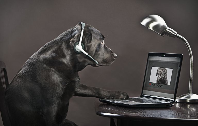 Chocolate labrador teleconferencing on laptop
