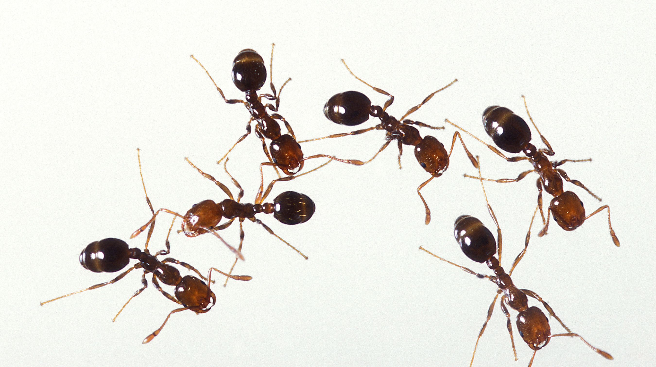 Get Rid of the Ants In your Home Step by Step. Why Do Ants Sometimes Have Wings