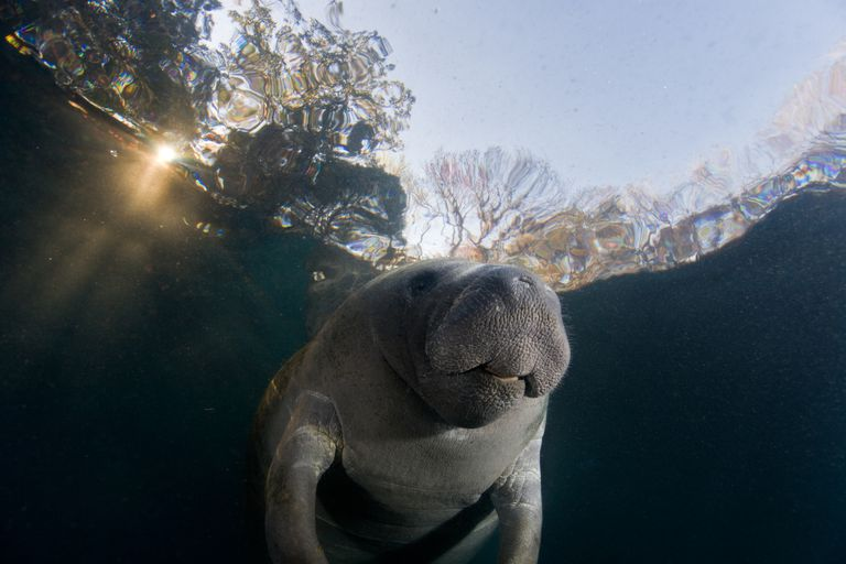 Manatee at Surface / Steven Trainoff Ph.D. / Moment / Getty Images