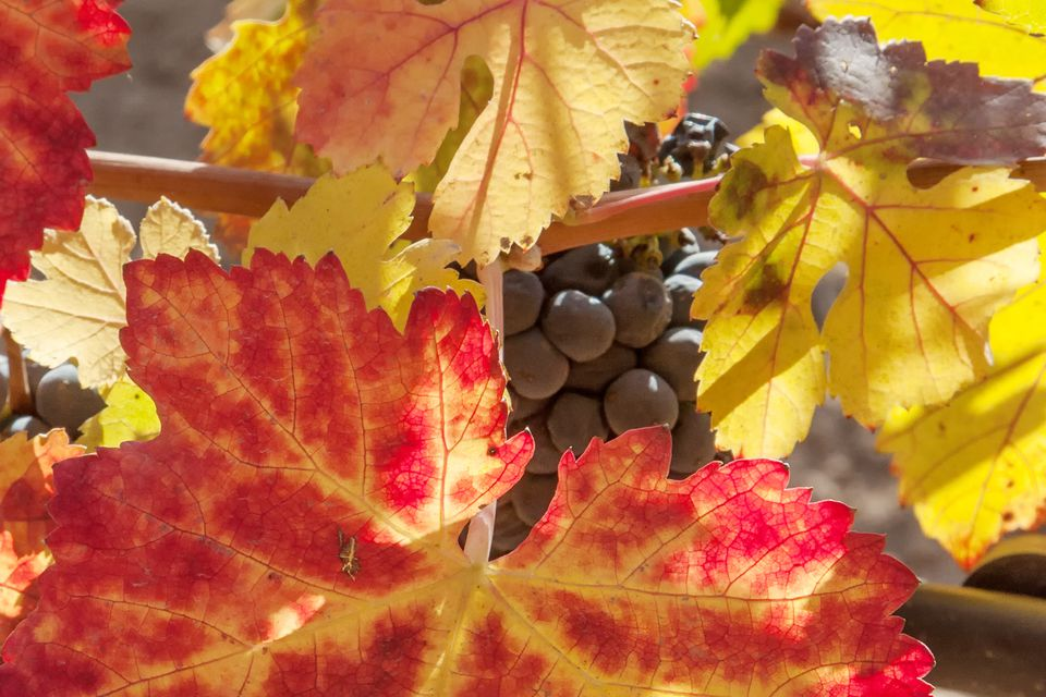 Napa Valley Vineyard in the Fall