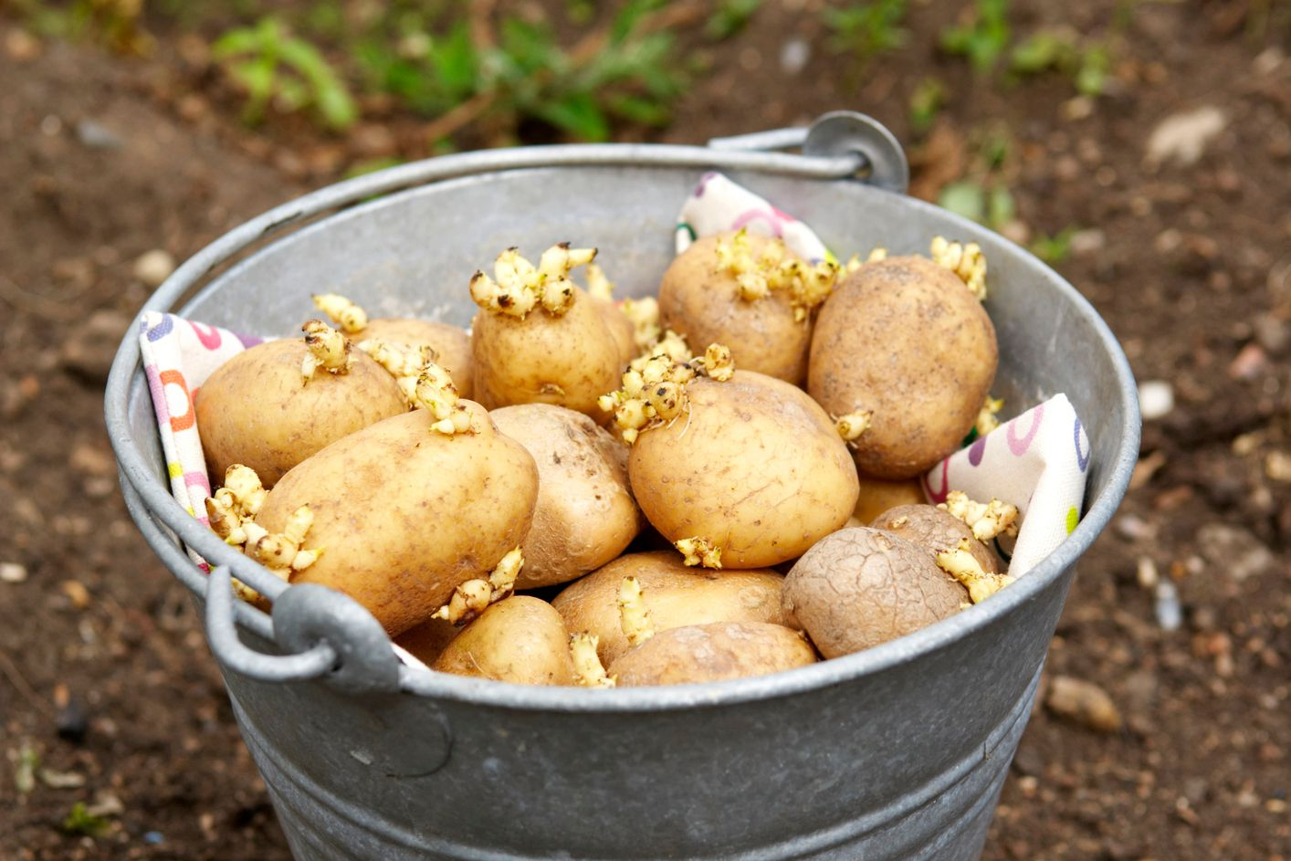 What Are Seed Potatoes And How Do You Plant Them