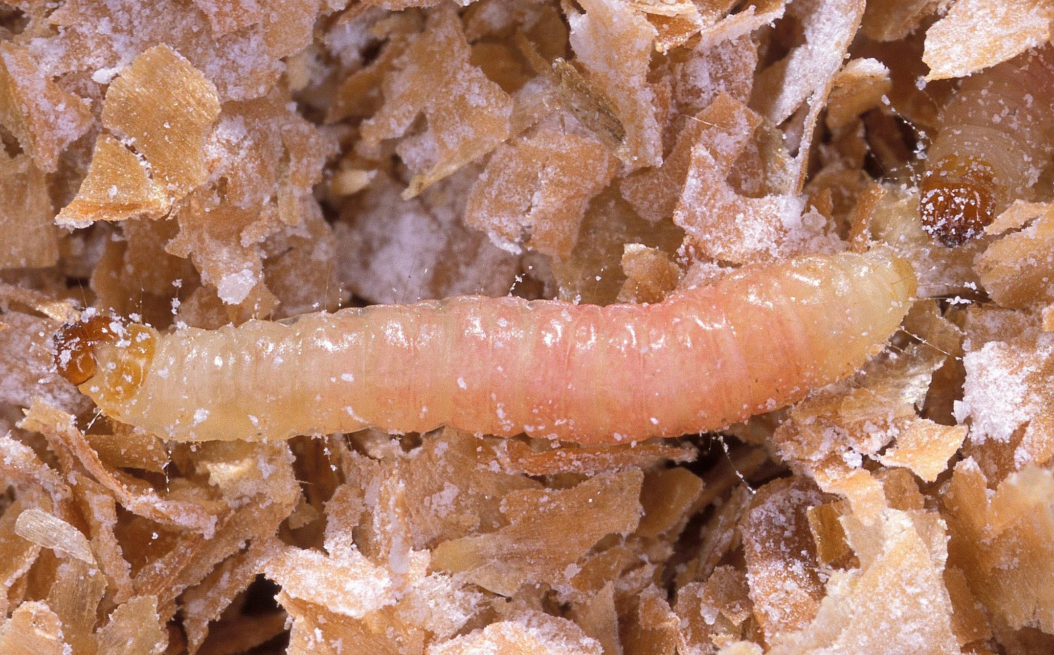 Getting Rid Of Indianmeal Moths In Your Pantry