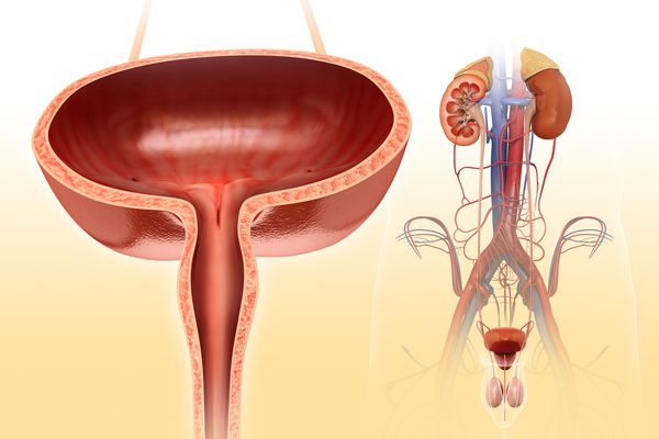 Male bladder anatomy