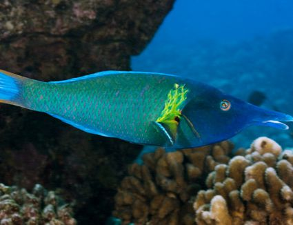 Regal angelfish fish breed profile for Easy fish to care for