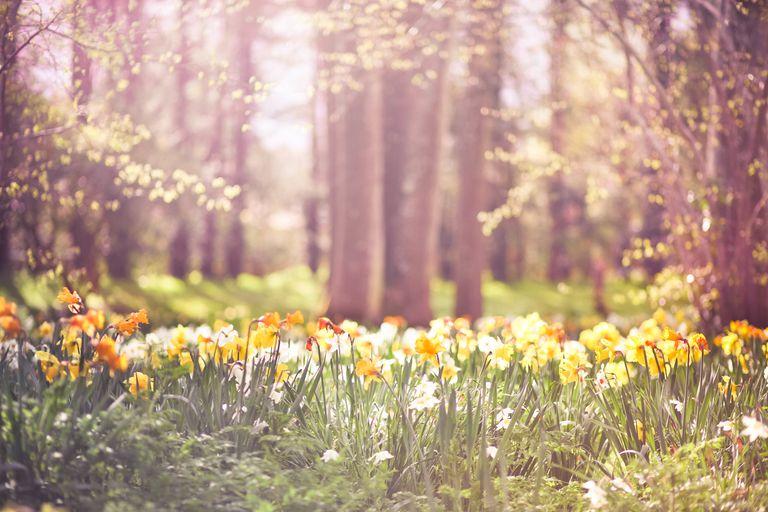 Sea of yellow and orange daffodils