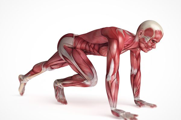 Anatomical drawing of a person with the muscles exposed.