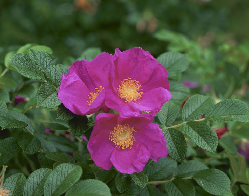 Rugosa roses (Rosa rugosa), close-up