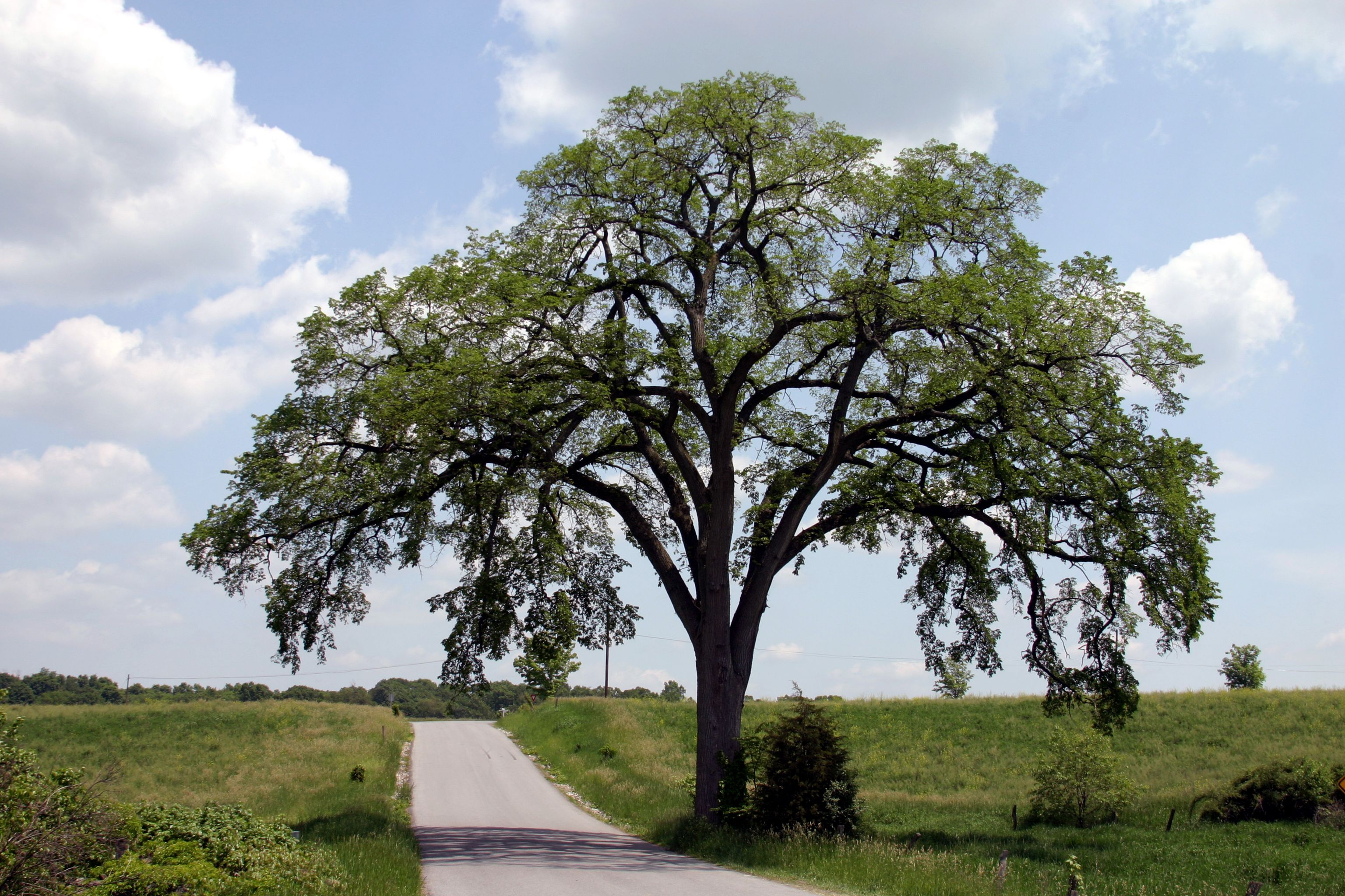 Our American Elm: A Survivor's Story | Longwood Gardens