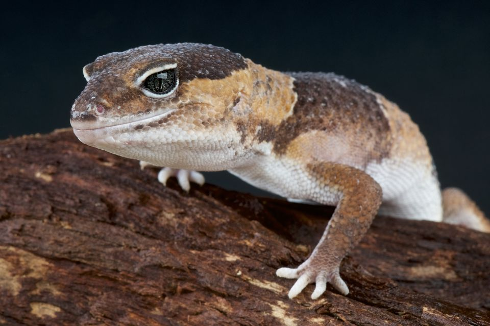'Fat-tailed gecko (Hemitheconyx caudicinctus), Togo'
