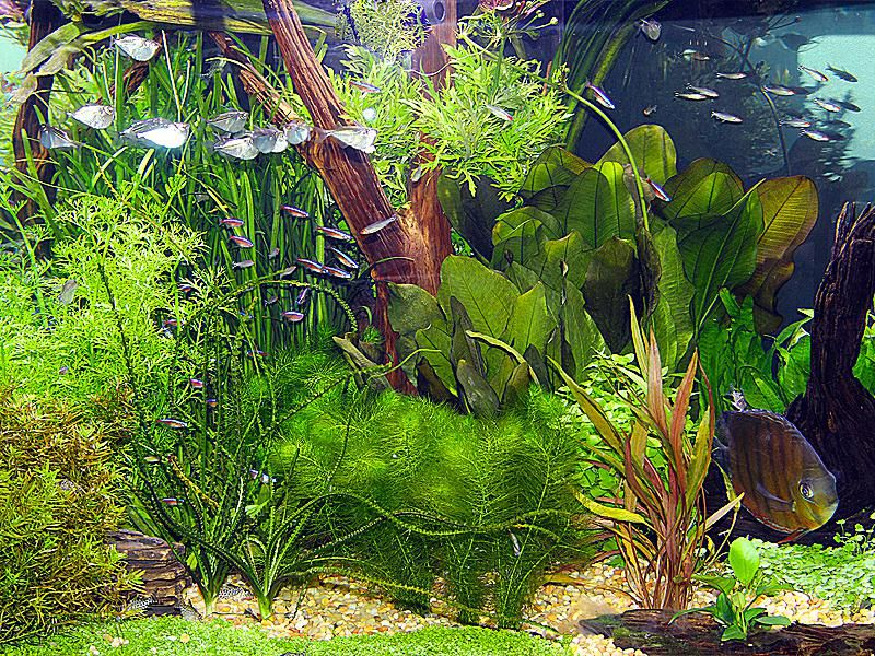 Comunity live plant aquariums are best with shoals of schooling fish