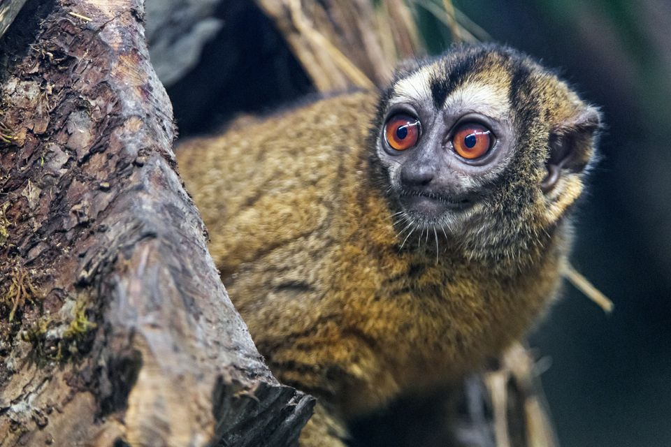Brown owl monkey