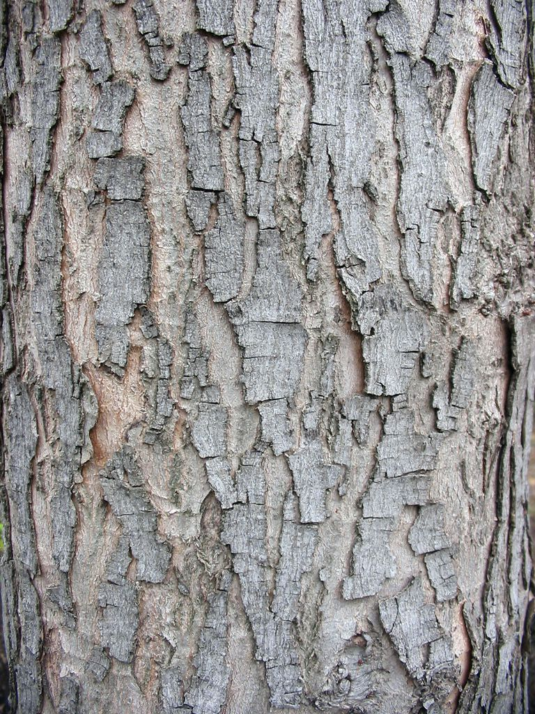 Silver Maple 100 Most Common North American Trees
