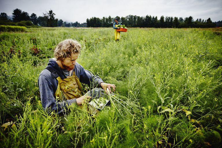 Farmer kneeling in field harvesting fennel