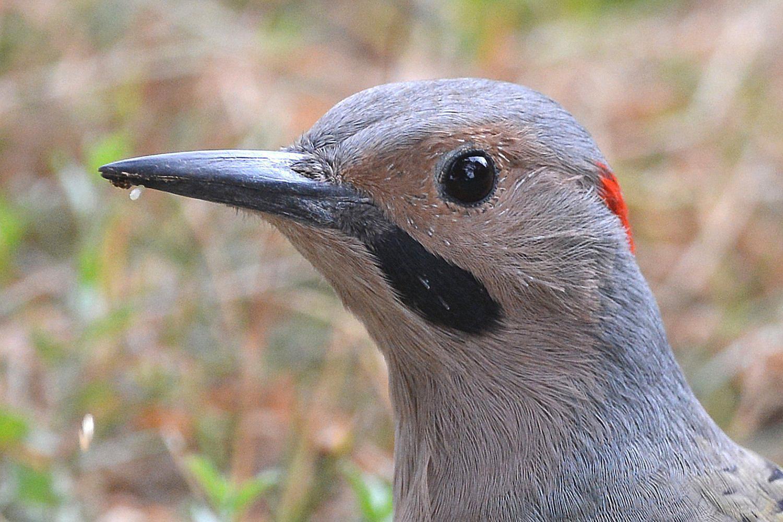 image gallery of common woodpecker species