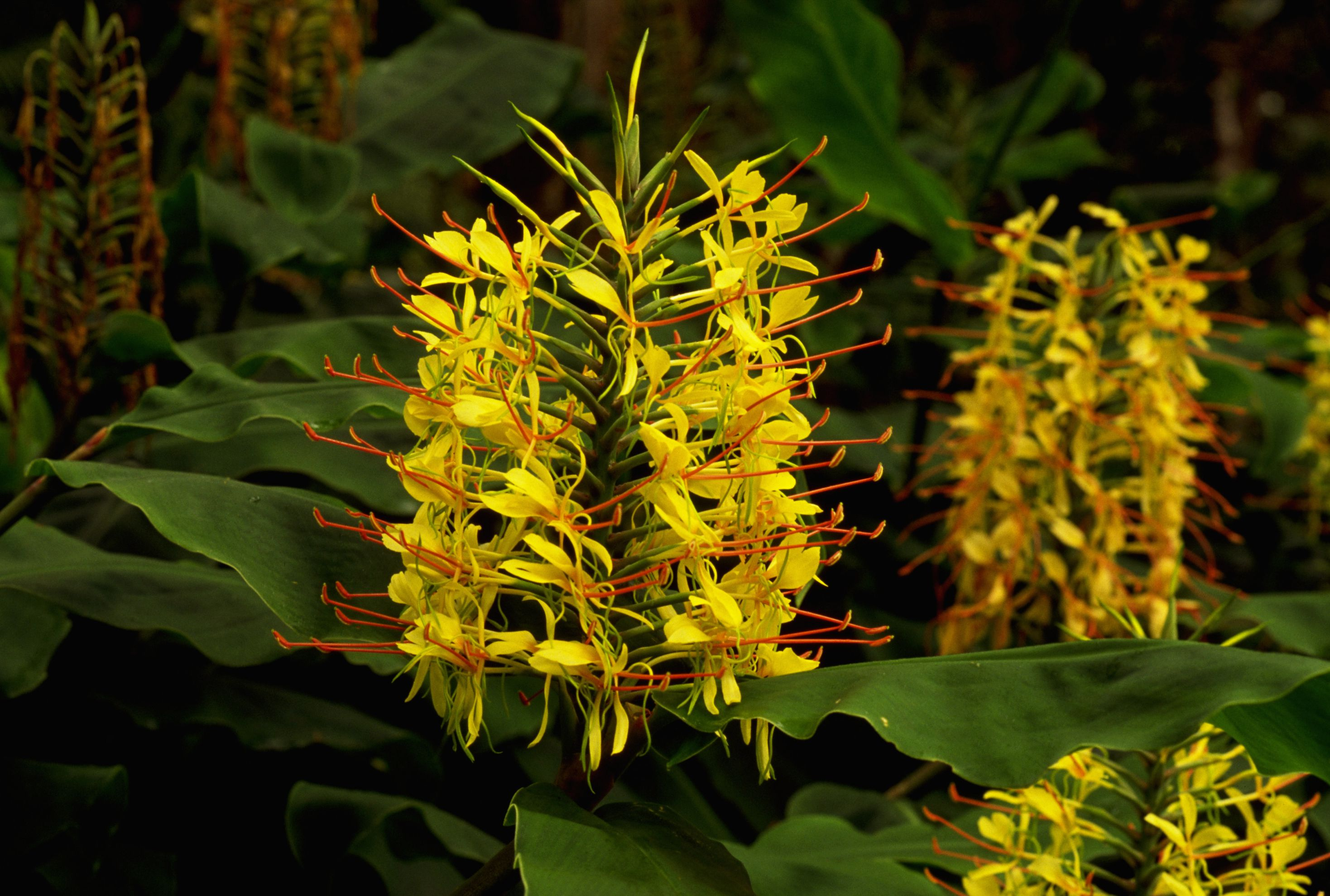How to Grow Beehive Ginger