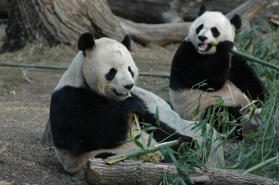 Giant Pandas Enjoy Life at Washington Zoo