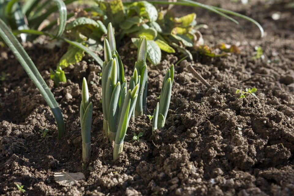 Delicate Snowdrop flowers have grown on friable soil in january