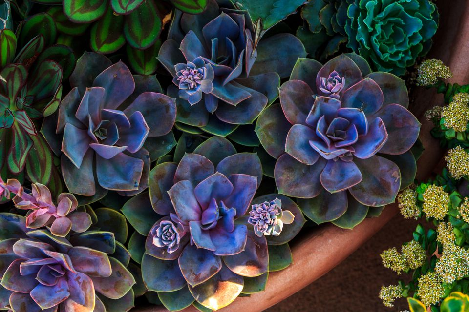 High Angle View Of Echeveria Succulent Plants
