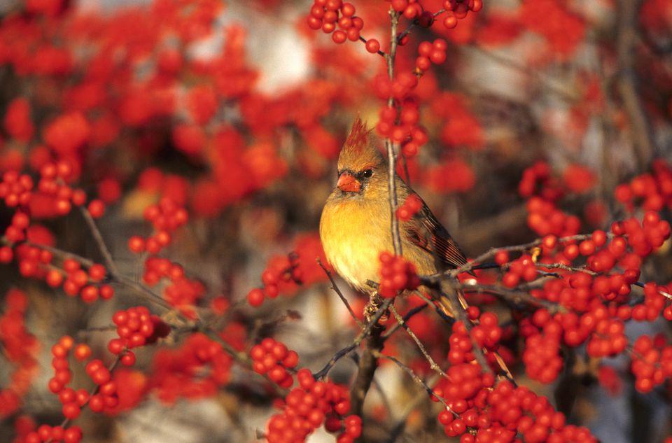 Female Cardinal in a Winterberry Holly (Ilex verticillata)