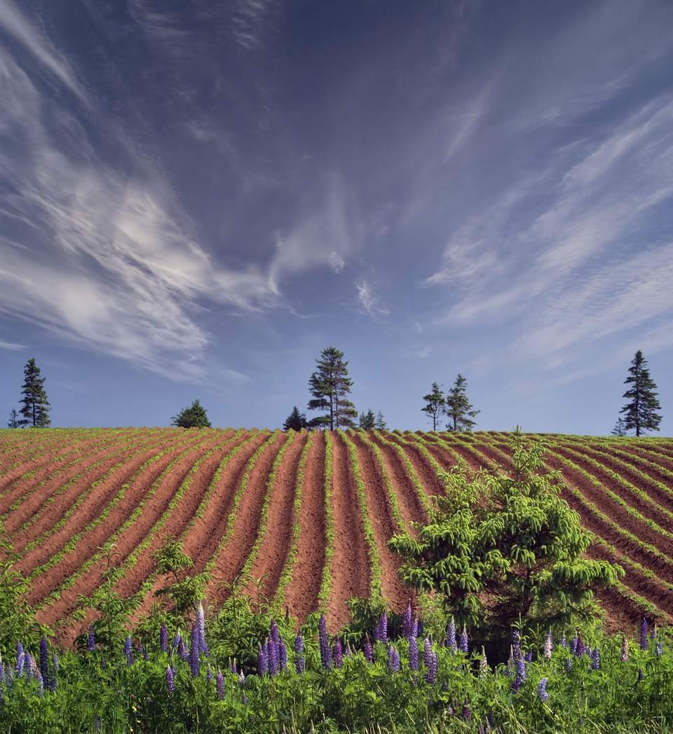 Canada, Prince Edward Island, lupine and potato field, spring