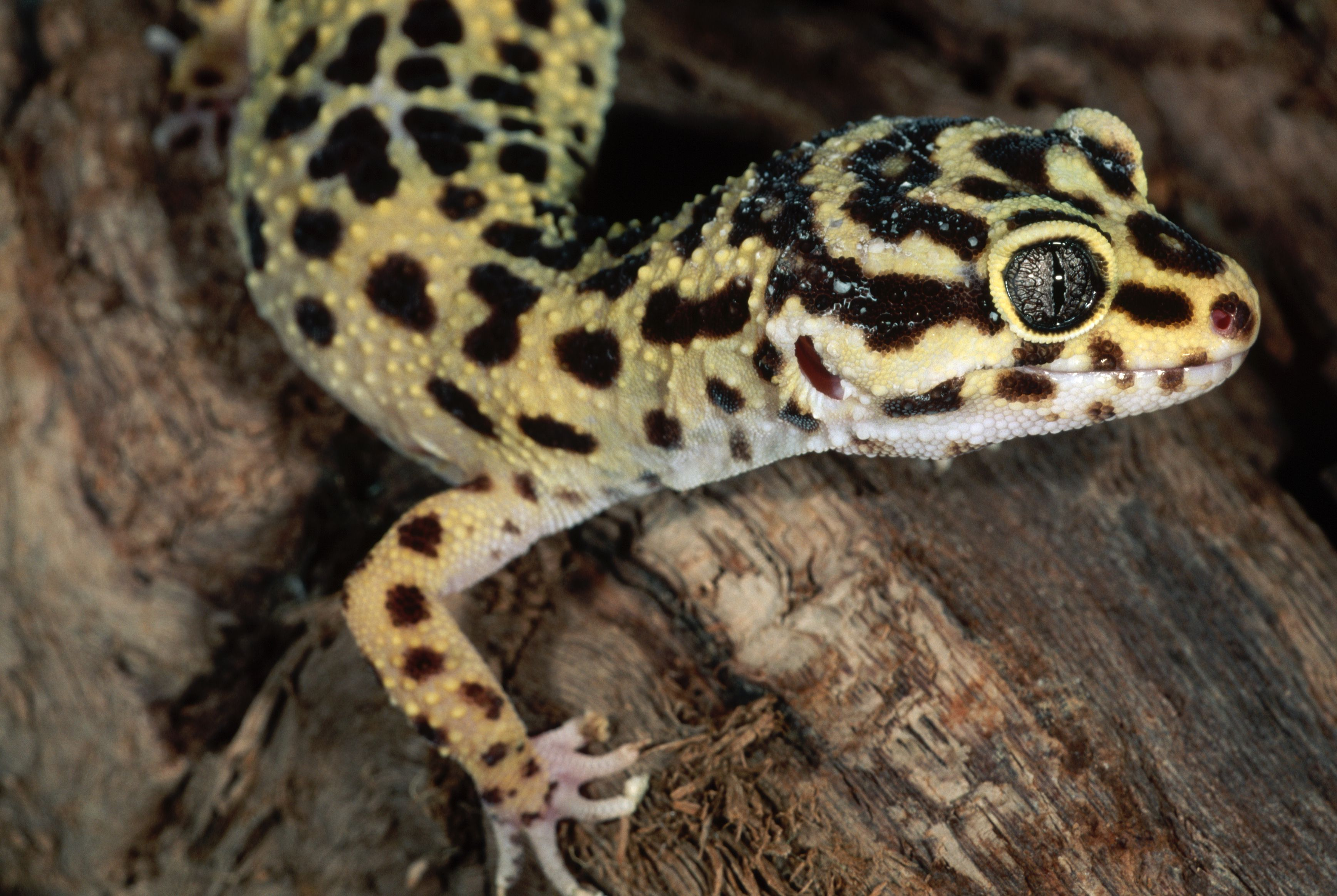 Decorating Ideas For Bathroom Geckos As Pets Care Guide And Introduction