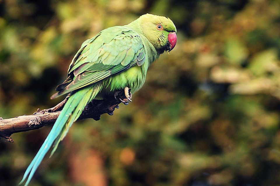 An Indian Ring-necked Parakeet. Also known as Rose-ringed Parakeet. This is a female.