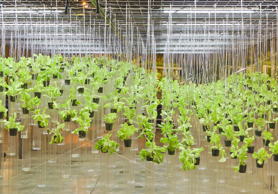 Hydroponically grown lettuces.