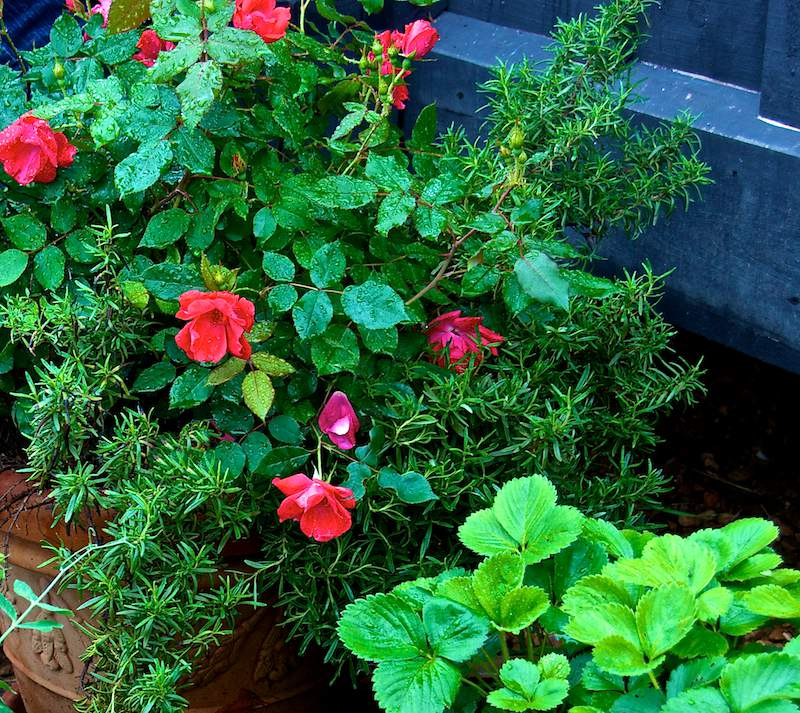 container gardening picture of knock out rose with rosemary by P. Allen Smith