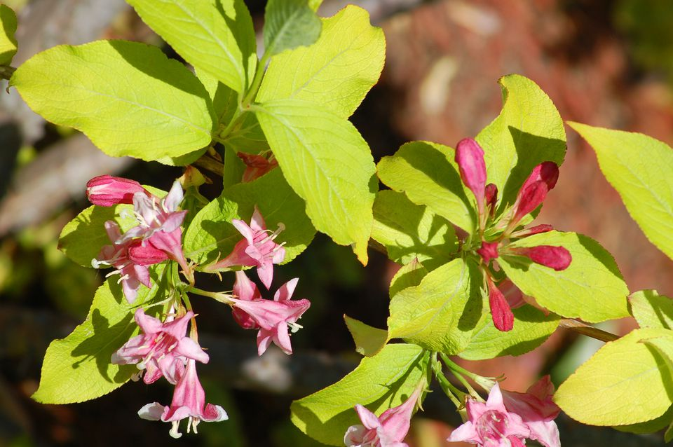 Lime and Golden weigelas have attractive leaves as well as flowers.