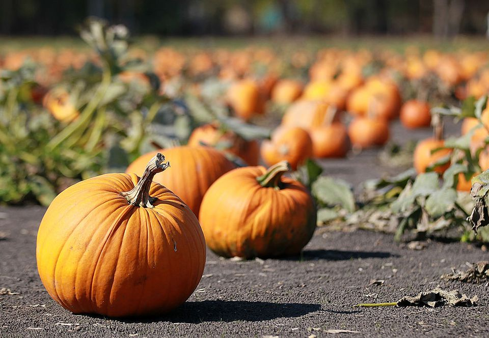 An outdoor pumpkin patch.