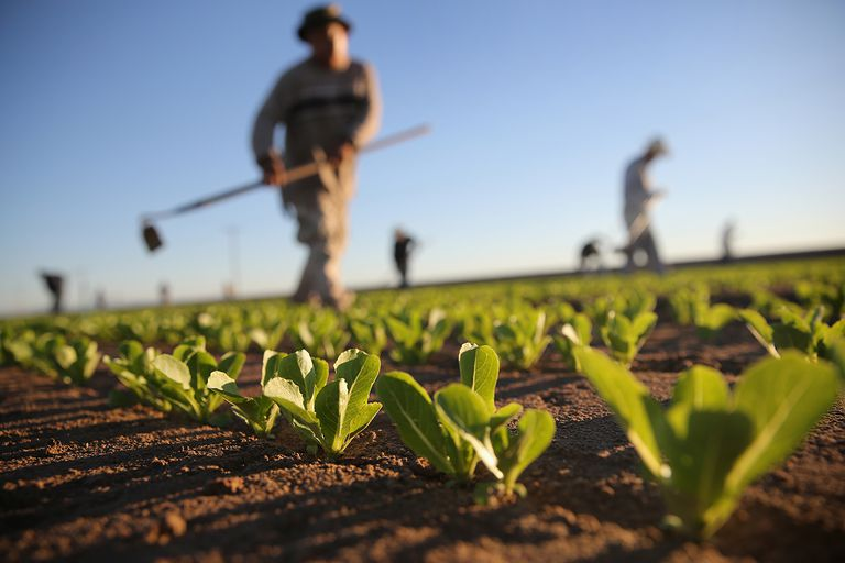 Agricultural workers cultivate romaine lettuce on a farm in Holtville, California
