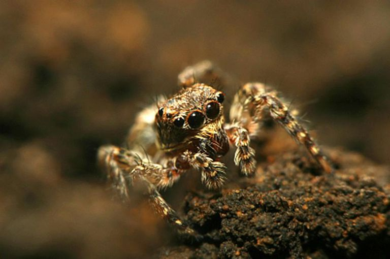 Portrait of a jumping spider.