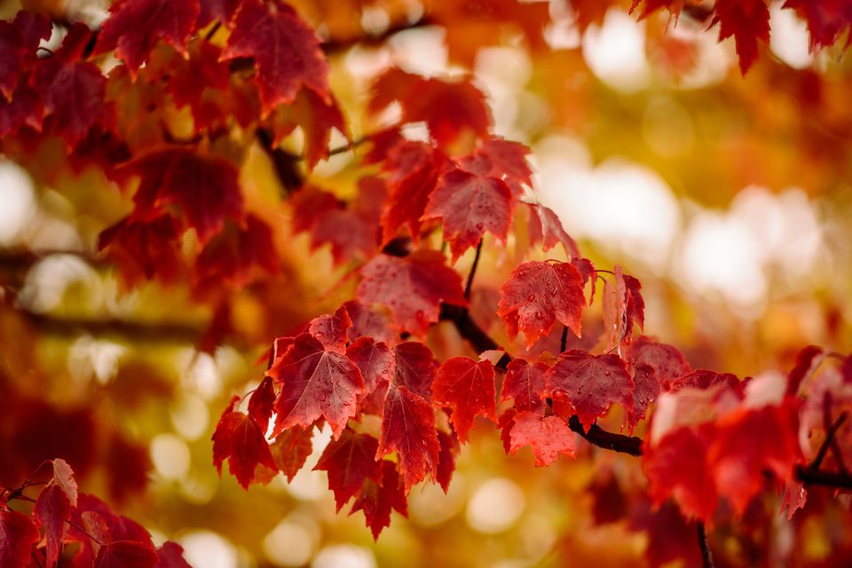 Branch of red maple tree showing color of its fall leaves.
