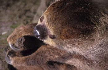 Two-toed Sloth