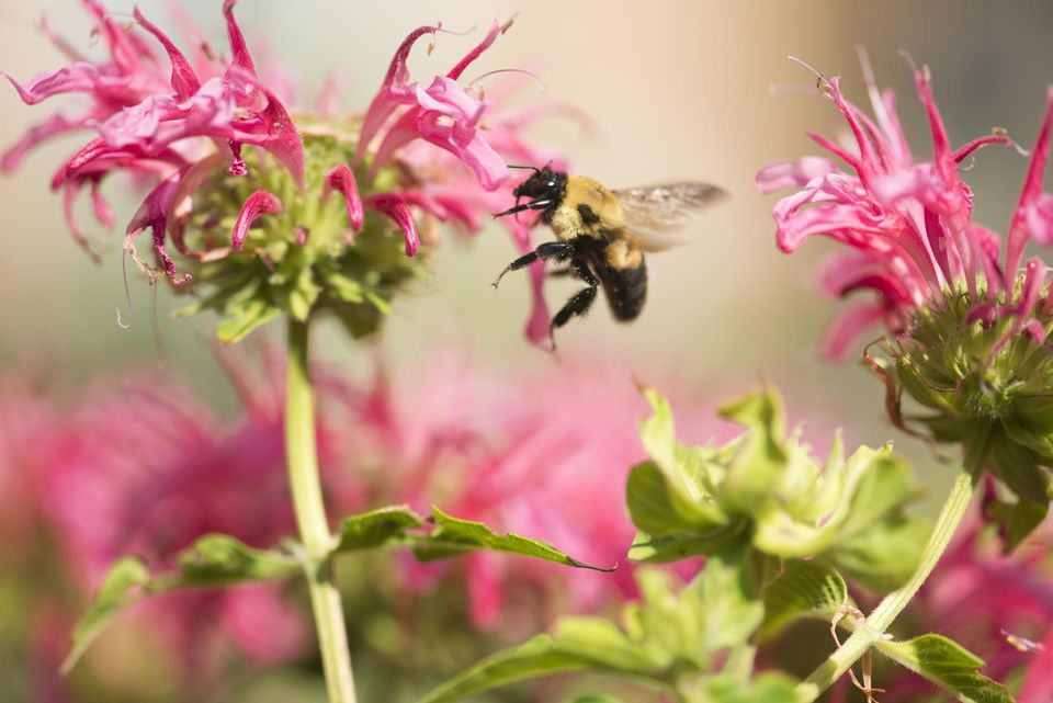 A large bumblebee feeding on a pink bee balm plant blooming in the summer garden.