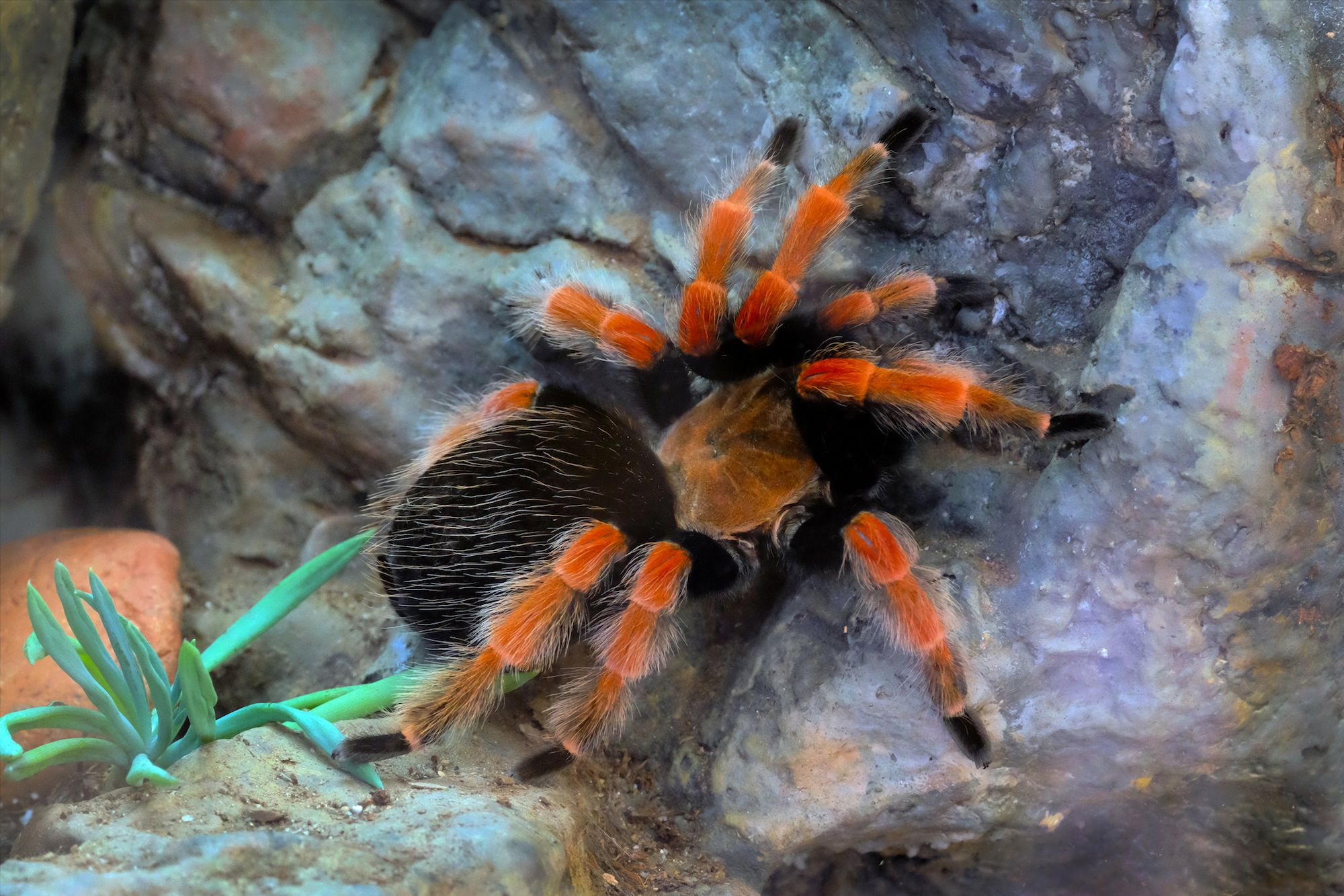 Caring For Your Pet Mexican Redknee Tarantulas