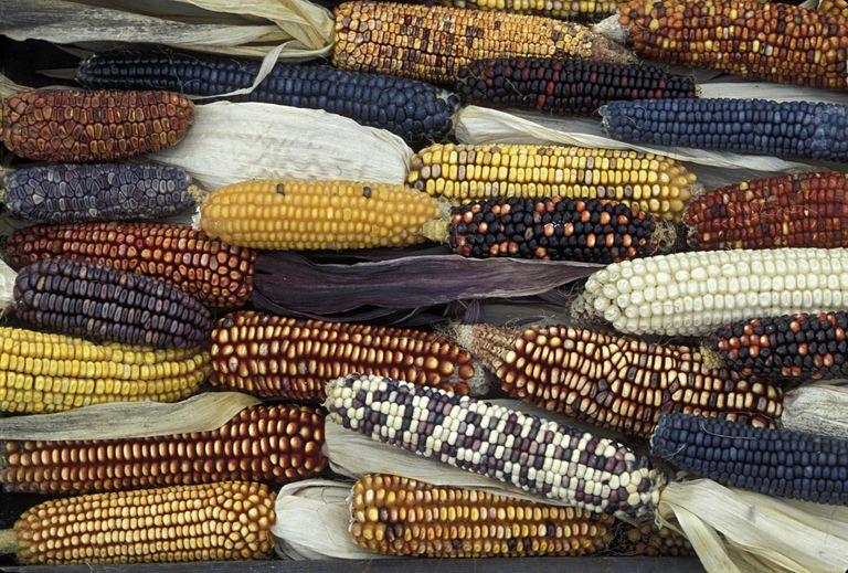 Heirloom Varieties of Maize