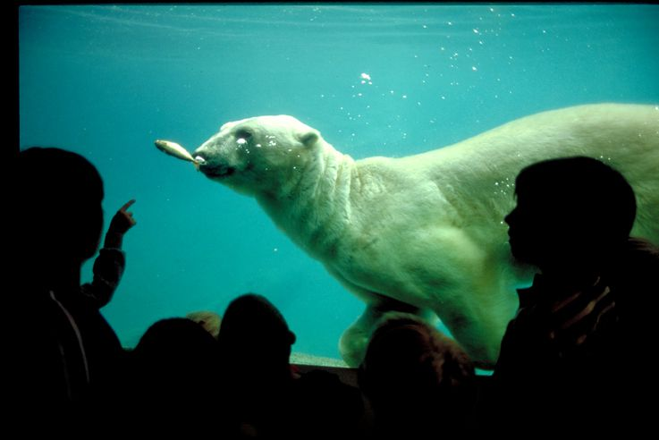 Polar Bear shows off at Point Defiance Zoo in Tacoma