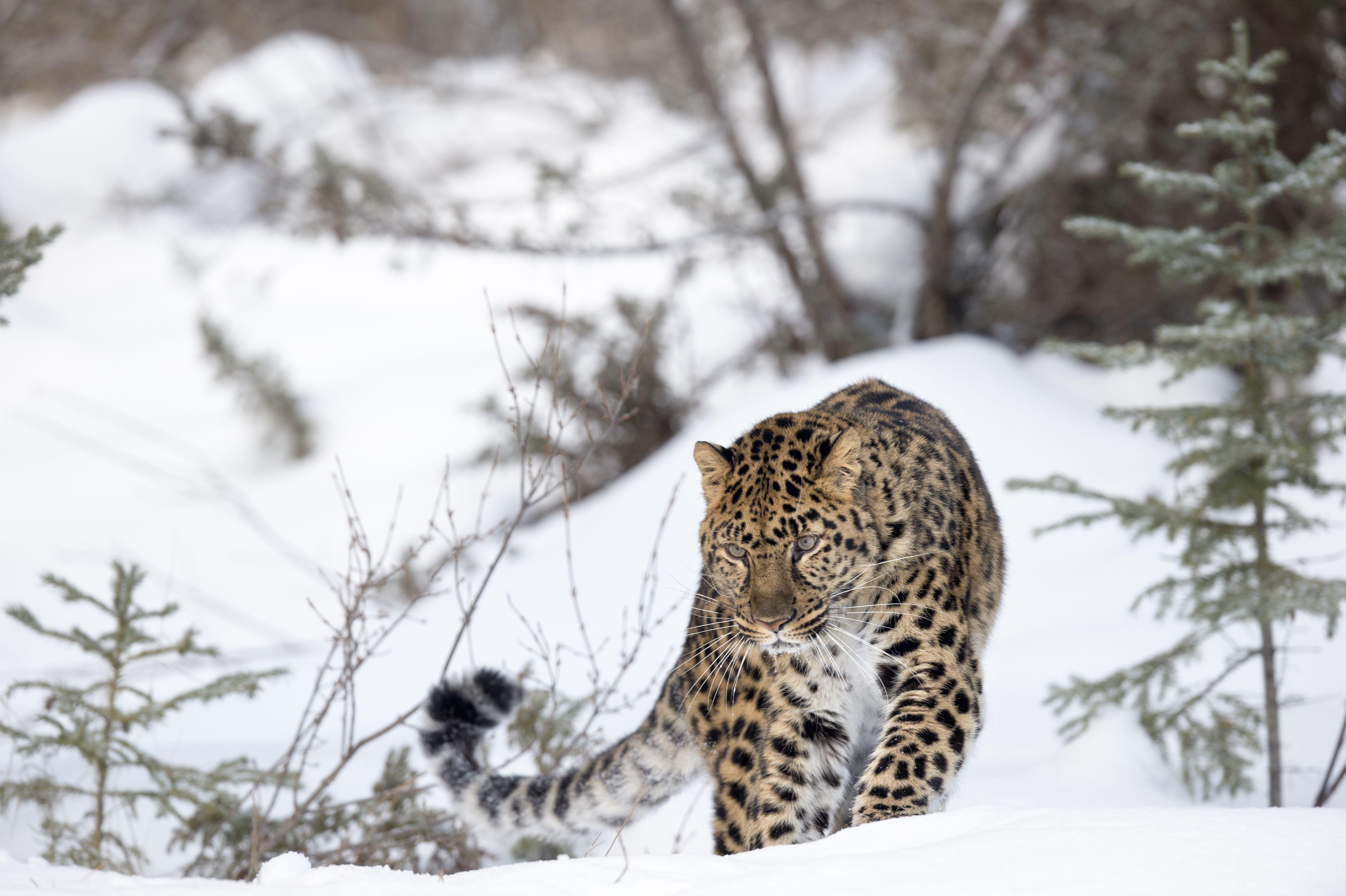The World of the Amur Leopard | 4928 x 3280 jpeg 1205kB