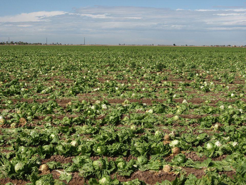 yuma-lettuce.jpg